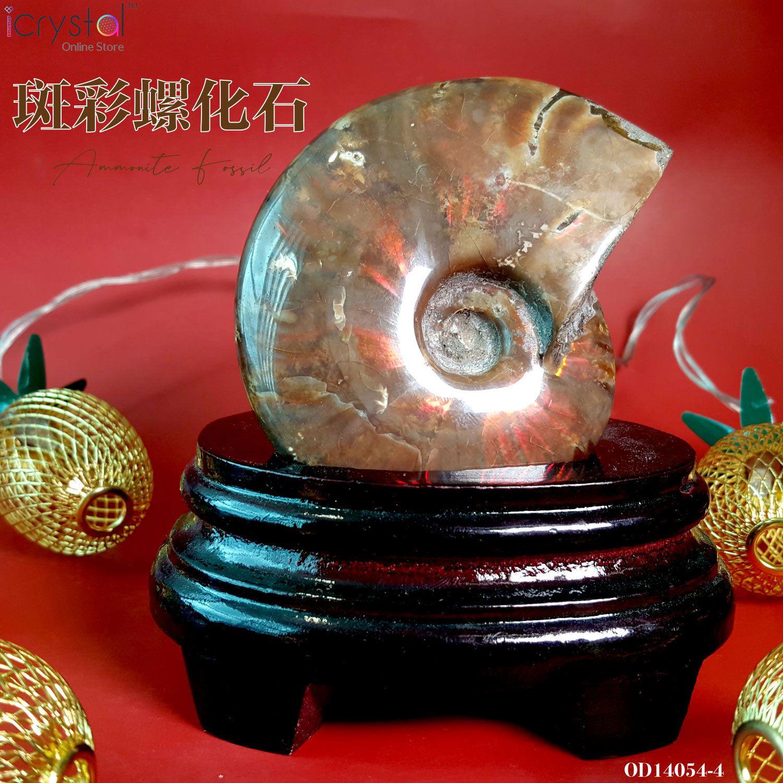 斑彩螺化石搭配螺化石木座